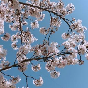 【アウェイの桜、三ツ沢の桜、神田川の桜】サポーターのオフ