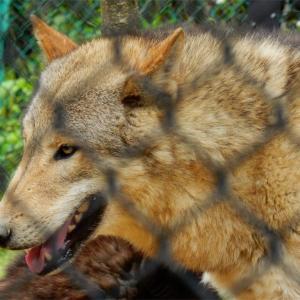 犬と狼の違い   〜吠え方