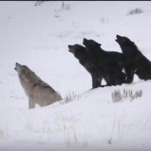 鮭を食べるオオカミ