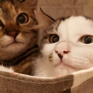 【10/18の譲渡会】参加予定猫ちゃんの紹介 その4