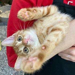 【7/18の譲渡会】参加予定猫ちゃんの紹介 その2