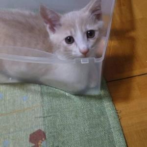 【7/18の譲渡会】参加予定猫ちゃんの紹介 その3