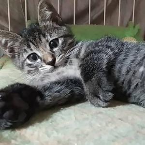【8/22の譲渡会】参加予定猫ちゃんの紹介 その4