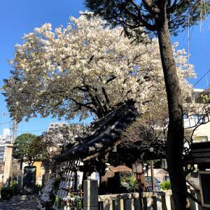 今年の桜 近場のあちこち