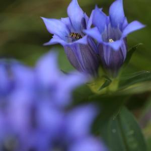 リンドウの青紫