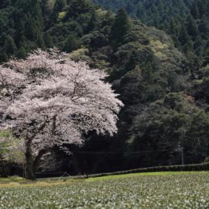 鍛治島の桜