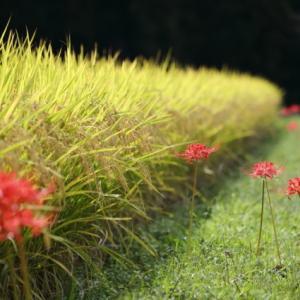 彼岸花咲く季節(日吉地区 ②)