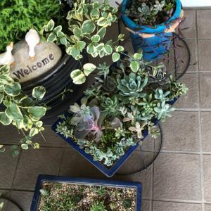 職場の玄関の多肉植物