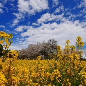 桜は先人からの愛・ひっそり咲く花のような人になりたい
