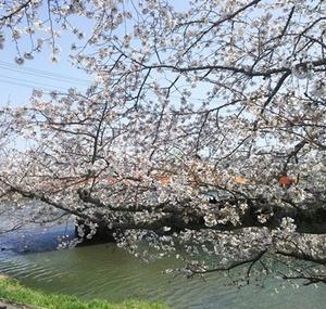 勝間田川の桜と菜の花