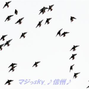 レンジャクが飛ぶ!