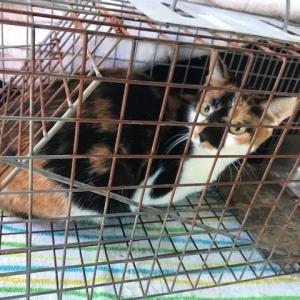 母猫を捕獲しました