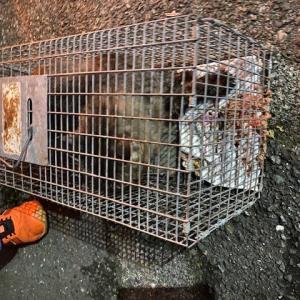 浜松市のボス捕獲出来ました。