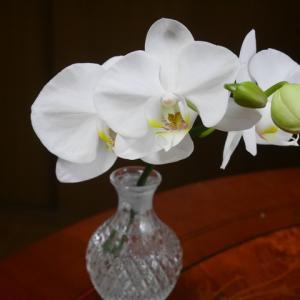 胡蝶蘭が咲き出したのに