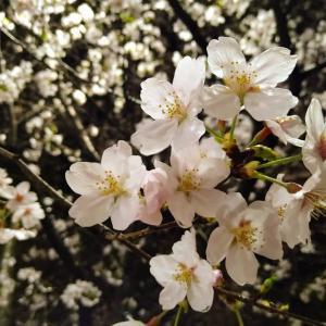 ★満開の夜桜★