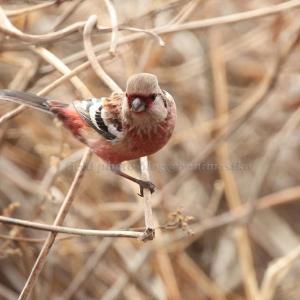 赤い鳥 池島