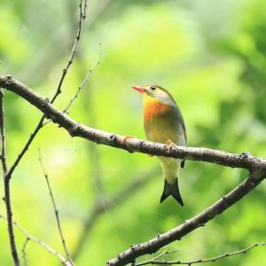やっとで鳥撮りでお山に行く・・・