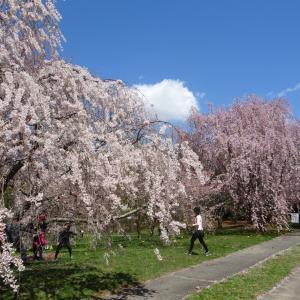 【日本人は】2018ボストンで花見してみた【桜が好き】