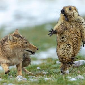【画像】ネズミさん、オオカミが真横に居たのに気づいて飛び上がる