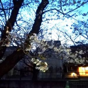 桜 麻生川 2020