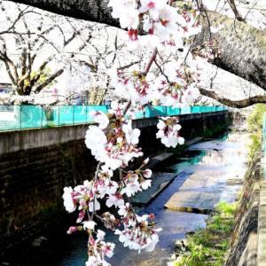 麻生川 今日もまた桜見物  Mar2020