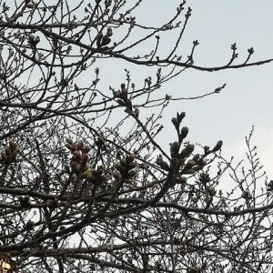 目黒川の桜 3月22日2020