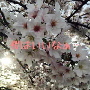 桜の映像で癒されるエイプリルフールです