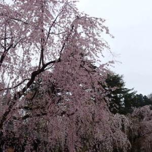 現地更新第2弾は角館の枝垂れ桜と刺巻湿原の水芭蕉(^-^)
