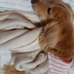 毛布を選んだモモちゃん。。。