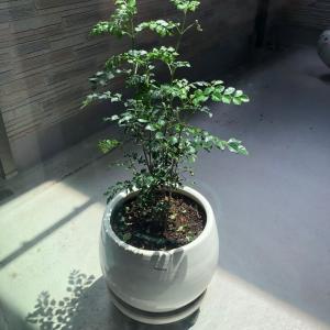 常緑樹 シマトネリコ