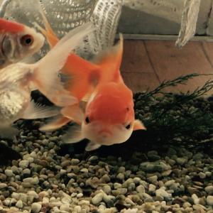 水の温度 〔 金魚がバタバタと死