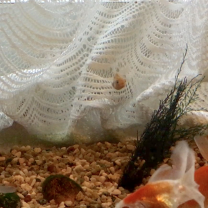稚魚、大水槽での生活