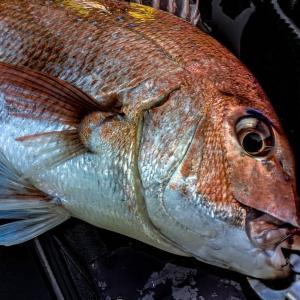 まだまだ釣れる東京湾カヤックフィッシング乗っ込み真鯛
