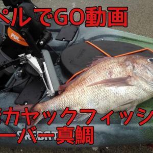 4kgオーバー真鯛動画