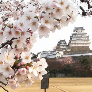 車椅子で姫路城のお花見!