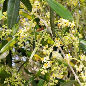 地植え9年目のオリーブ(ルッカ)に花が咲き、いい香りです・・