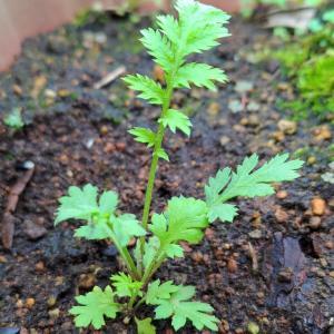 種まきから2ヶ月、育ったタンジーを植え替えて地植えにしました