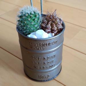 寄せ植えサボテン(マミラリア属桜月、麗蛇丸)の成長