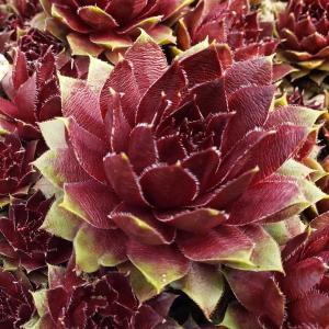 地植えの多肉植物(センペルビウム)シワシワの対策は他と違って乾燥でした