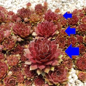 地植えの多肉『センペルビウム』につぼみ(花芽)が3つも?