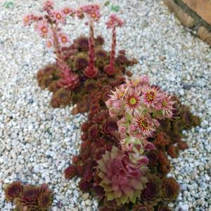 地植えの多肉『センペルビウム』の花が4つも咲きました!!!