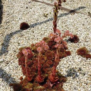 多肉(センペルビウム)は開花後、花を摘み取っても株は枯れます・・