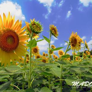 今年の向日葵畑