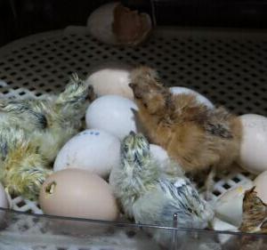 孵卵器 すごい優秀!烏骨鶏生まれる(^^♪