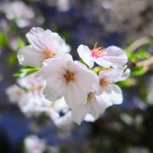 ぬくぬく猫と桜散歩