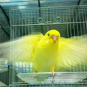 今日こそ飛べるか!? 黄金の羽ばたき 龍ちゃん生後33日目と発育遅れのピコちゃん31日目🐣