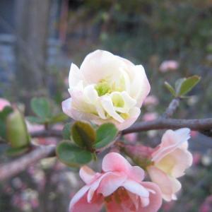 『日本にはボケという花があった(ことを思い出す)』(200318)
