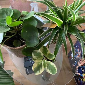 新しい観葉植物をお出迎え。ANETのルクレールジャルディに行ってきた