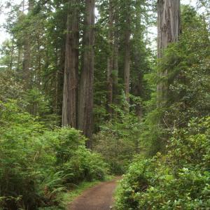 【レッドウッドの森】レッドウッド国立及び州立公園 (Redwood National and State Parks)