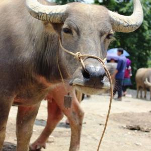 バックハーのサンデーマーケット(後編:動物の市):ベトナムのサパから日帰りツアーに参加しました。